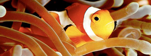Les poissons clowns sont hermaphrodites ?