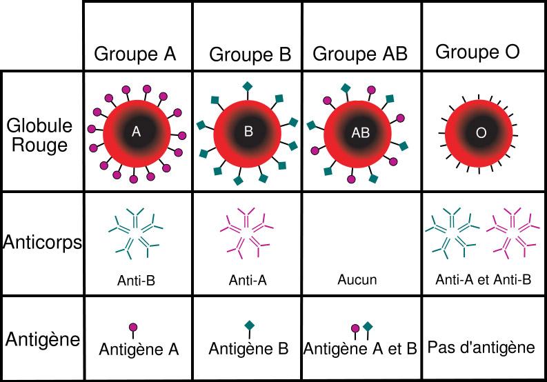 Groupe Sanguin Le groupe sanguin le plus rare est lAB  ?