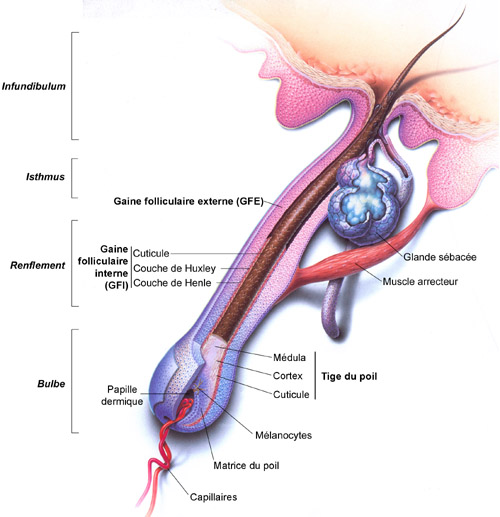 anatomie système pileux Ce sont les bulles d'air qui donnent les cheveux blancs ?