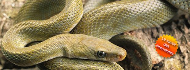 Les serpents tirent la langue sans arrêt pour chasser ?
