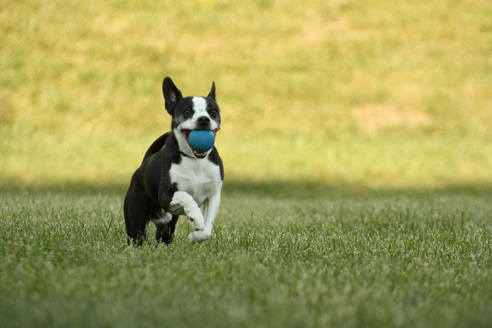 chien_avec_balle_bleu