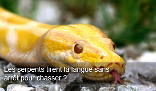 Serpent Tirent la Langue